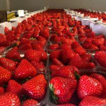raviers de fraises